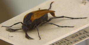 Paradox beetle