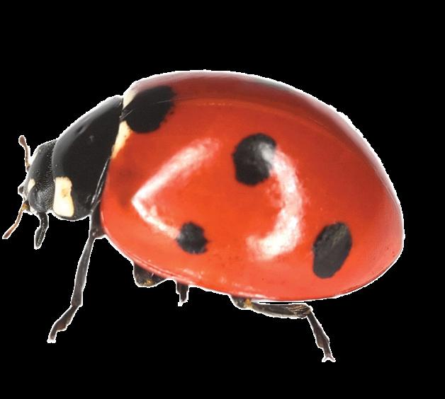 _5450712_xl_ladybird2