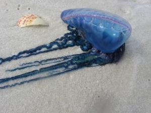 Physalia washed up on a beach
