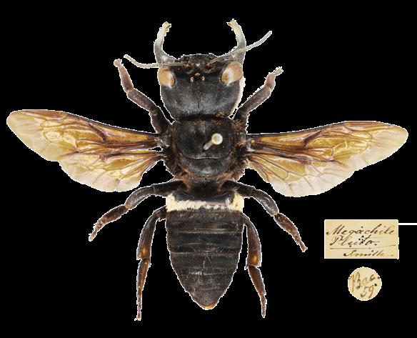 _Megachile