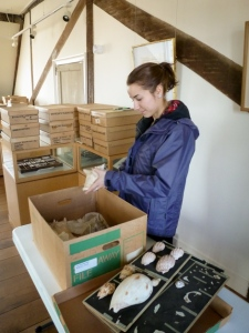 Bethany Palumbo examining the collections at Abingdon County Museum