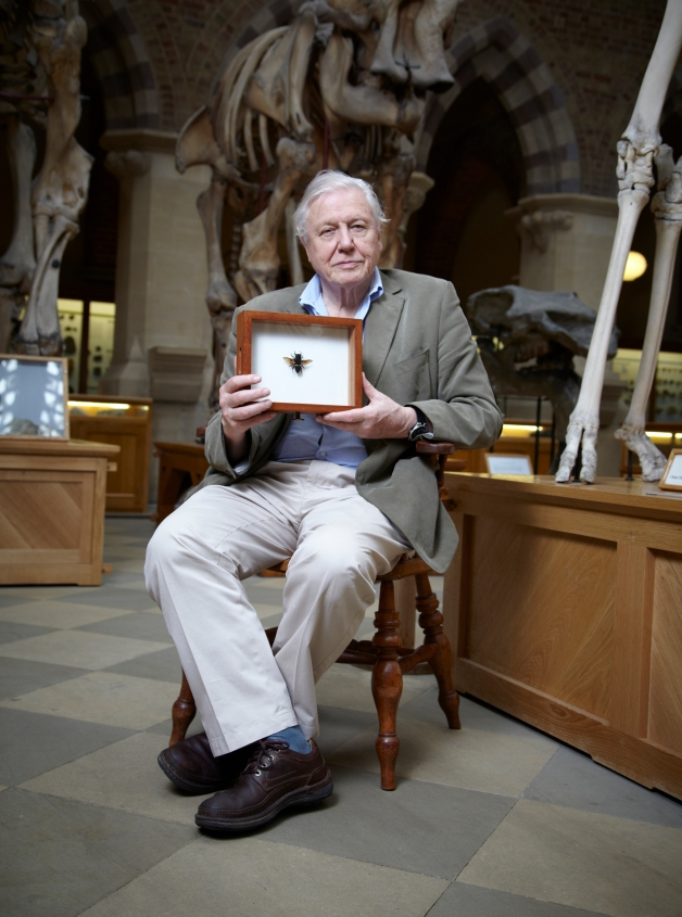 David Attenborough in the Museum with Wallace's Giant Bee
