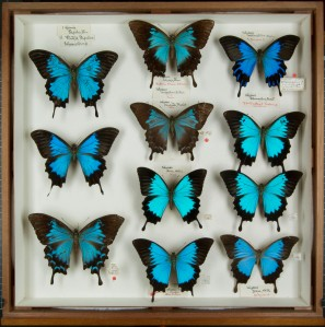Ulysses Butterflies (Papilio Ulysses)