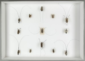 Fungus weevils (Anthribidae) collected by Wallace